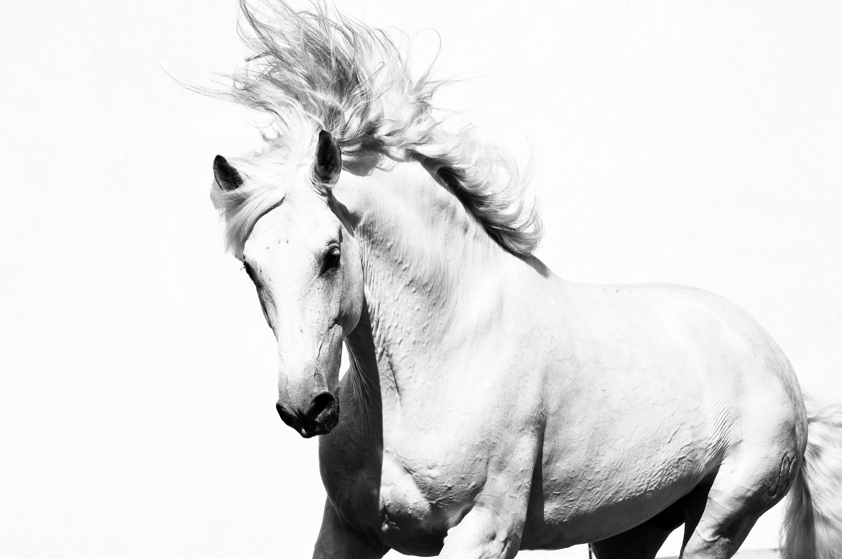white arabian horse stallion isolated on the white